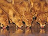 Lionesses Drinking at Waterhole, Chobe National Park, Botswana Fotografisk tryk af Frans Lanting