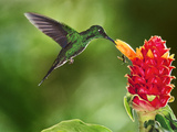 Green-Crowned Brilliant Hummingbird Feeding on Ginger Torch, Costa Rica Photographie par Frans Lanting