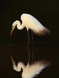 Grande aigrette dans le lagon, Pantanal, Brésil (Photographie encadrée, Oiseau) Reproduction photographique par Frans Lanting