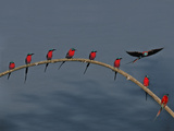 Southern Carmine Bee Eaters, Luangwa Valley, Zambia Photographic Print by Frans Lanting