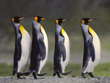 King Penguins Courting, South Georgia Island Photographie par Frans Lanting