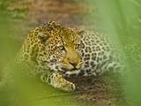Leopard, Niokolo-Koba National Park, Senegal Fotografisk tryk af Frans Lanting