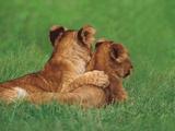 Lion Cubs, Masai Mara Reserve, Kenya Photographic Print by Frans Lanting