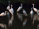 Great Egrets in Lagoon, Pantanal, Brazil Photographic Print by Frans Lanting