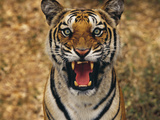 Bengal Tiger Snarling, Western Ghats, India Photographic Print by Frans Lanting