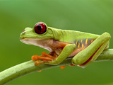 Red-Eyed Tree Frog, Barro Colorado Island, Panama Photographic Print by Frans Lanting