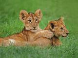 Lion Cubs Playing, Masai Mara National Reserve, Kenya Fotografisk tryk af Frans Lanting