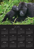 Baby Gorilla Kisses Silverback Male Posters by Paul Souders