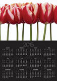 Red Tulips, Close Up, White Background Poster