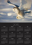 Snowy Owl in Flight Hunting Posters by Theo Allofs