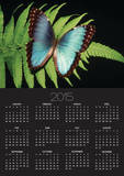 Blue Common Morpho Butterfly on Fern Frond Posters by Kevin Schafer