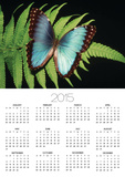 Blue Common Morpho Butterfly on Fern Frond Prints by Kevin Schafer