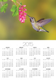 Anna's Hummingbird (Calypte Anna) Feeding at a Red Currant Flower in Victoria, British Columbia, Ca Prints by Glenn Bartley