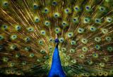 Peacock Reprodukcje
