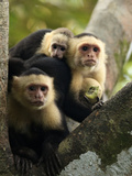White-Faced Capuchin Monkey Family (Cebus Capucinus), Costa Rica Photographic Print by Gregory Basco