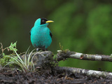 Green Honeycreeper Male, Costa Rica Photographic Print by Glenn Bartley