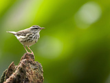 Cloud Forest Wren, Costa Rica Photographic Print by Gregory Basco