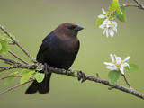 Brown-Headed Cowbird (Molothrus Ater) Perched on a Branch in Victoria, British Columbia, Canada Photographic Print by Glenn Bartley