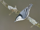 White-Breasted Nuthatch (Sitta Carolinensis) Perched on a Branch, Ottawa, Ontario, Canada Reproduction photographique par Glenn Bartley
