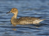Northern Pintail Female (Anas Acuta) Swimming in Victoria, British Columbia, Canada Photographic Print by Glenn Bartley