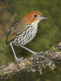 Chestnut-Crowned Antpitta (Grallaria Ruficapillas) Perched on a Branch, Papallacta Pass Photographic Print by Glenn Bartley