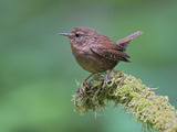 Winter Wren (Troglodytes Troglodytes) Perched on a Mossy Branch in Victoria, British Columbia Photographic Print by Glenn Bartley