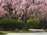 Pendula' Weeping Cherry (Prunus Subhirtella), Portland Japanese Garden, Portland, Oregon, USA Photographic Print by David Cobb