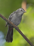 Gray Catbird (Dumetella Carolinensis) Perched on a Branch, Toronto, Ontario, Canada Photographic Print by Glenn Bartley
