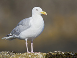 Glaucous-Winged Gull (Larus Glaucescens) Standing on a Rock in Victoria, British Columbia, Canada Photographic Print by Glenn Bartley