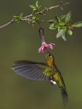 Golden-Breasted Puffleg (Eriocnemis Mosquera) Hovering and Feeding at a Red, Tubular Flower Photographie par Glenn Bartley