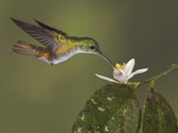 Andean Emerald Hummingbird (Amazilia Franciae) Feeding at a Flower While Flying Photographic Print by Glenn Bartley