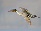 Northern Pintail (Anas Acuta) Flying in Victoria, BC, Canada Photographic Print by Glenn Bartley
