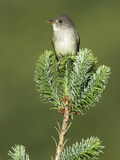 Willow Flycatcher (Empidonax Traillii) Perched on a Tree in Victoria, British Columbia, Canada Photographic Print by Glenn Bartley