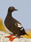 Pigeon Guillemot (Cepphus Columba) Perched on a Seaside Rock, Victoria, British Columbia, Canada Photographic Print by Glenn Bartley