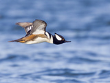 Hooded Merganser (Lophodytes Cucullatus) Flying, Victoria, BC, Canada Photographic Print by Glenn Bartley