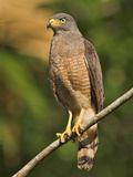Roadside Hawk, Costa Rica Photographic Print by Glenn Bartley