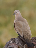 Black-Winged Ground-Dove (Metriopelia Melanoptera) Perched on a Rock in the Highlands of Ecuador Photographic Print by Glenn Bartley