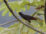 Crested Oropendola (Psarocolius Decumanus) Perched on a Branch Photographic Print by Glenn Bartley