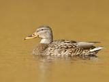 Female Mallard Duck (Anas Platyrhynchos) Swimming on a Pond, Victoria, BC, Canada Photographic Print by Glenn Bartley
