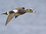 Male American Wigeon (Anas Americana) Flying, Victoria, BC, Canada Photographic Print by Glenn Bartley