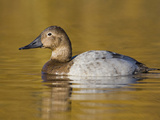 Canvasback (Aythya Valisineria) Swimming on a Golden Pond in Victoria, British Columbia, Canada Photographic Print by Glenn Bartley