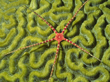 Ruby Brittle Star on Coral (Ophiocoma Echinata), Cayman Islands Photographic Print by Hal Beral