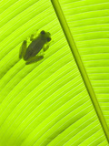 Emerald Glass Frog (Centrolenella Prosoblepon), Costa Rica Photographic Print by Gregory Basco