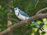 Magpie Jay, Costa Rica Photographic Print by Glenn Bartley