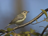 Warbling Vireo (Vireo Gilvus) Perched on a Branch, Ontario, Canada Photographic Print by Glenn Bartley