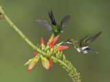 Green Thorntails (Popelairia Langsdorffi) Hovering and Nectaring at Red Tubular Flowers Photographic Print by Glenn Bartley