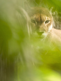 Cougar or Mountain Lion (Puma Concolor), Costa Rica Photographic Print by Gregory Basco