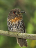 White-Whiskered Puffbird (Malacoptila Panamensis) Perched on a Branch Photographic Print by Glenn Bartley