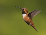 Rufous Hummingbird Flying (Selasphorus Rufus), Victoria, British Columbia, Canada Photographic Print by Glenn Bartley