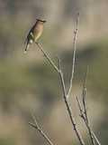 Cedar Waxwing (Bombycilla Cedrorum) Perched on a Branch in Toronto, Ontario, Canada Photographic Print by Glenn Bartley